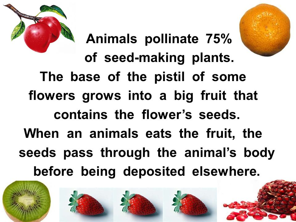 Animals pollinate 75% of seed-making plants. The base of the pistil of some flowers grows into a big fruit that contains the flowers seeds. When an an