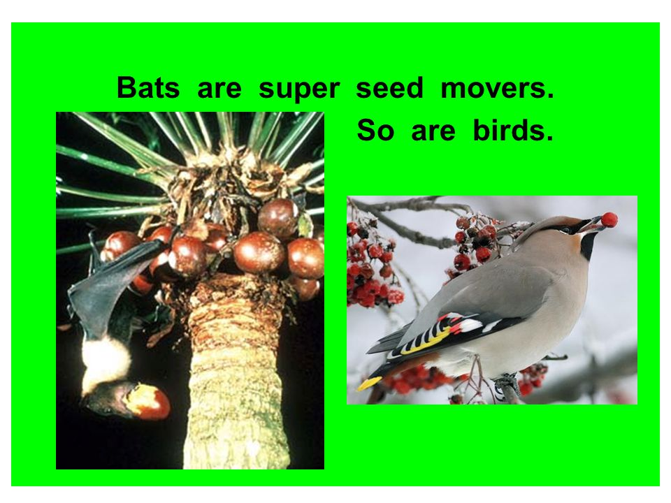 Bats are super seed movers. So are birds.