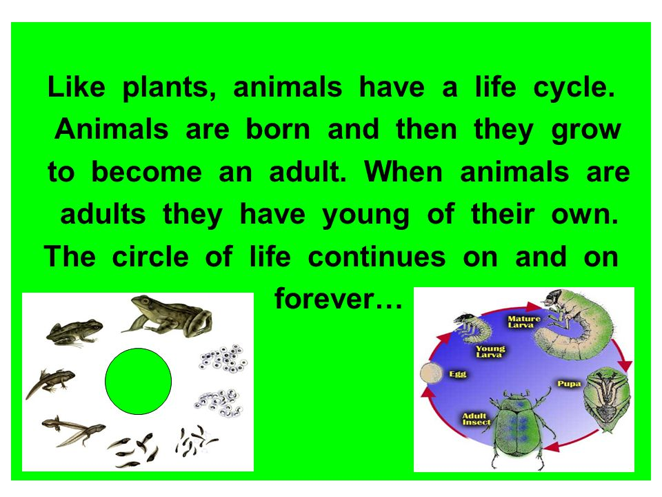Like plants, animals have a life cycle. Animals are born and then they grow to become an adult. When animals are adults they have young of their own.