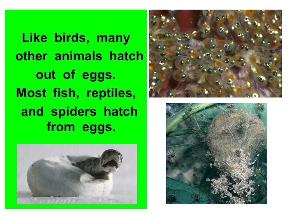 Like birds, many other animals hatch out of eggs. Most fish, reptiles, and spiders hatch from eggs.
