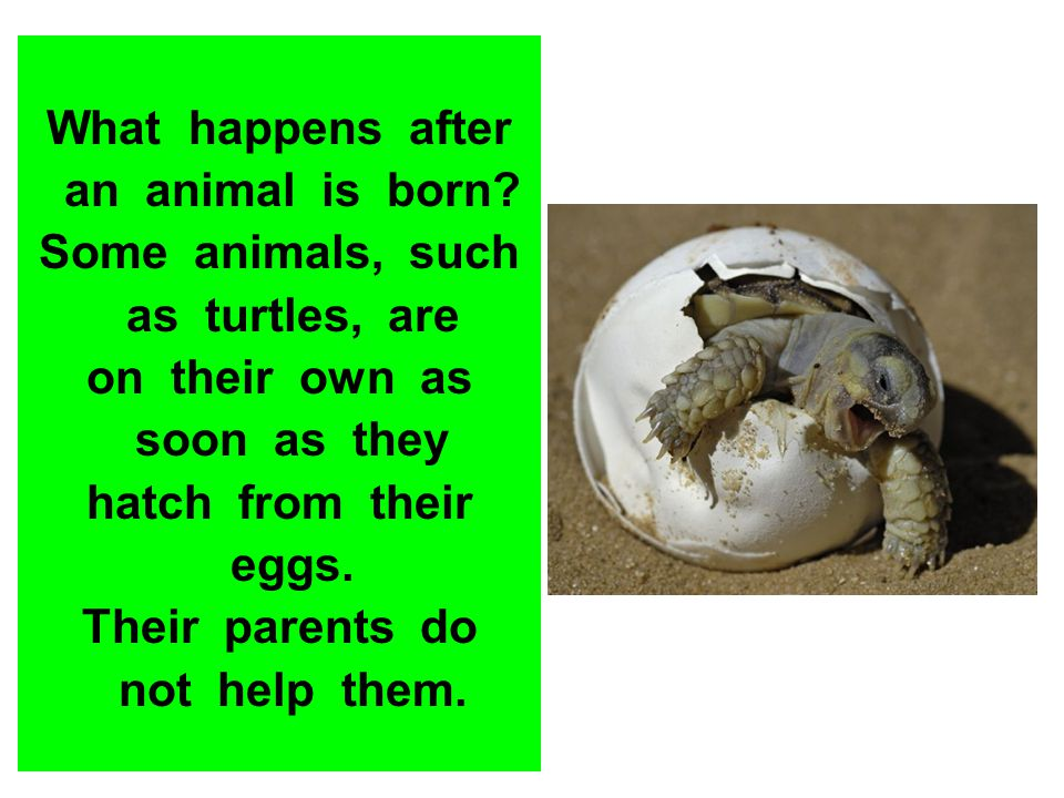 What happens after an animal is born? Some animals, such as turtles, are on their own as soon as they hatch from their eggs. Their parents do not help