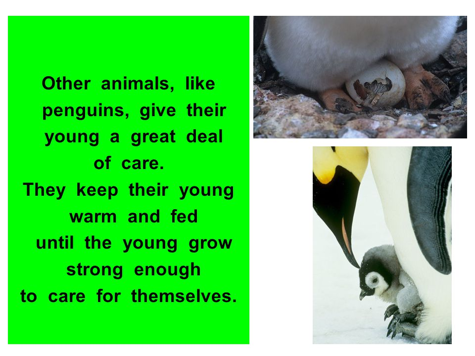 Other animals, like penguins, give their young a great deal of care. They keep their young warm and fed until the young grow strong enough to care for