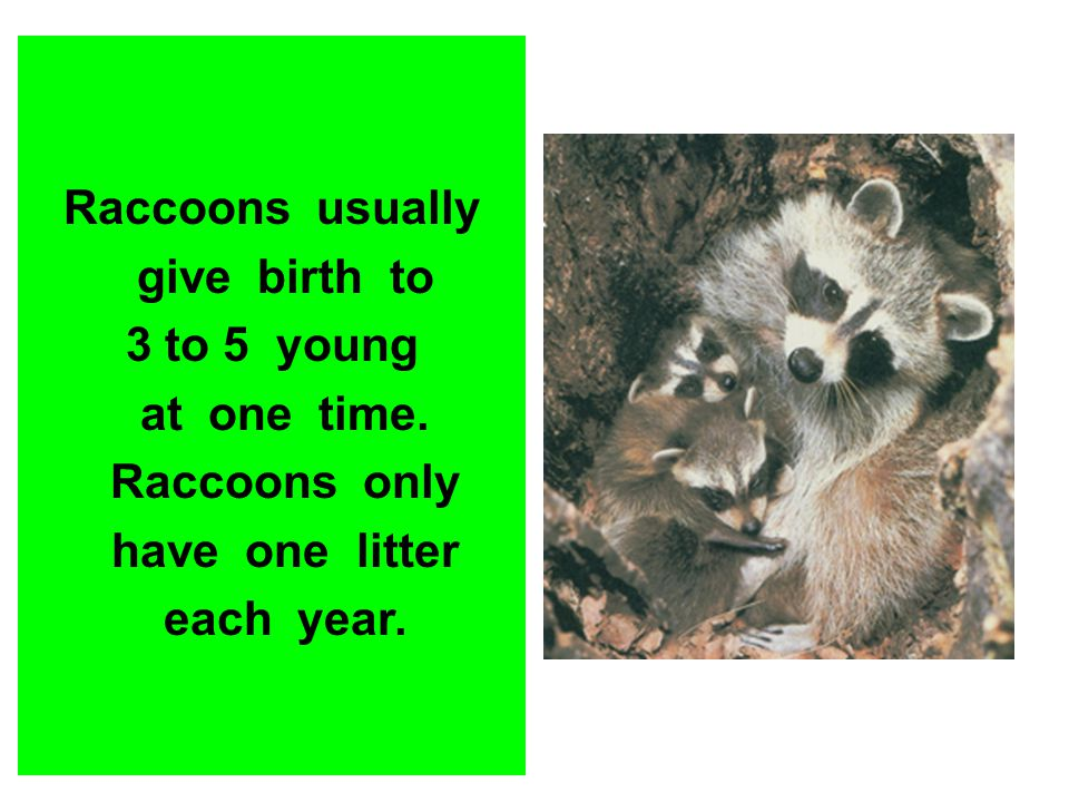Raccoons usually give birth to 3 to 5 young at one time. Raccoons only have one litter each year.