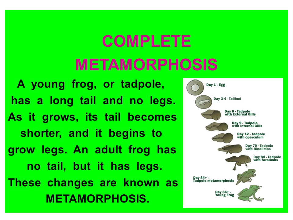 COMPLETE METAMORPHOSIS A young frog, or tadpole, has a long tail and no legs. As it grows, its tail becomes shorter, and it begins to grow legs. An ad