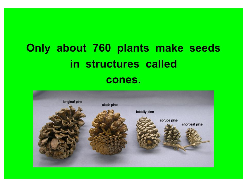 Only about 760 plants make seeds in structures called cones.