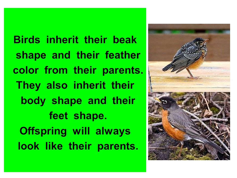 Birds inherit their beak shape and their feather color from their parents. They also inherit their body shape and their feet shape. Offspring will alw