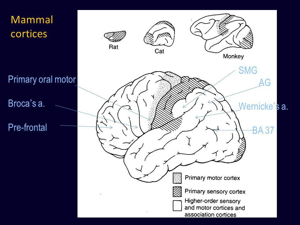 Mammal cortices SMG AG Wernickes a. BA 37 Primary oral motor Brocas a. Pre-frontal
