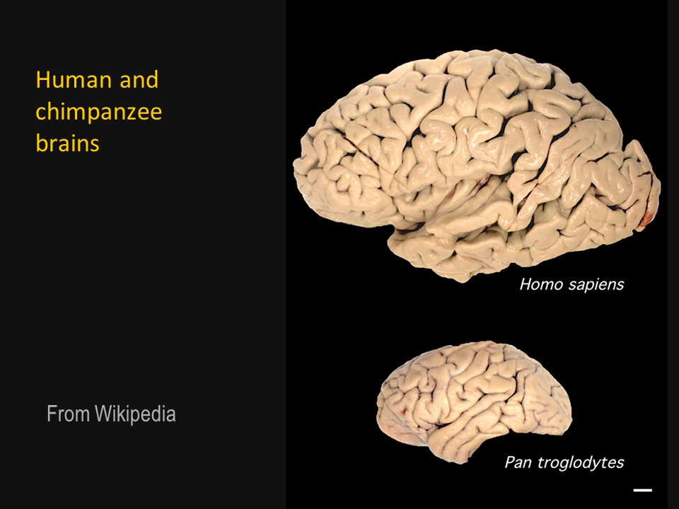 Human and chimpanzee brains From Wikipedia