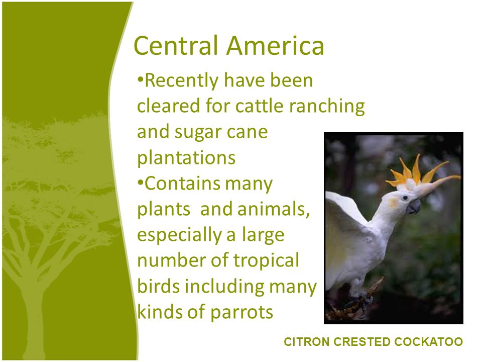 Central America Recently have been cleared for cattle ranching and sugar cane plantations Contains many plants and animals, especially a large number