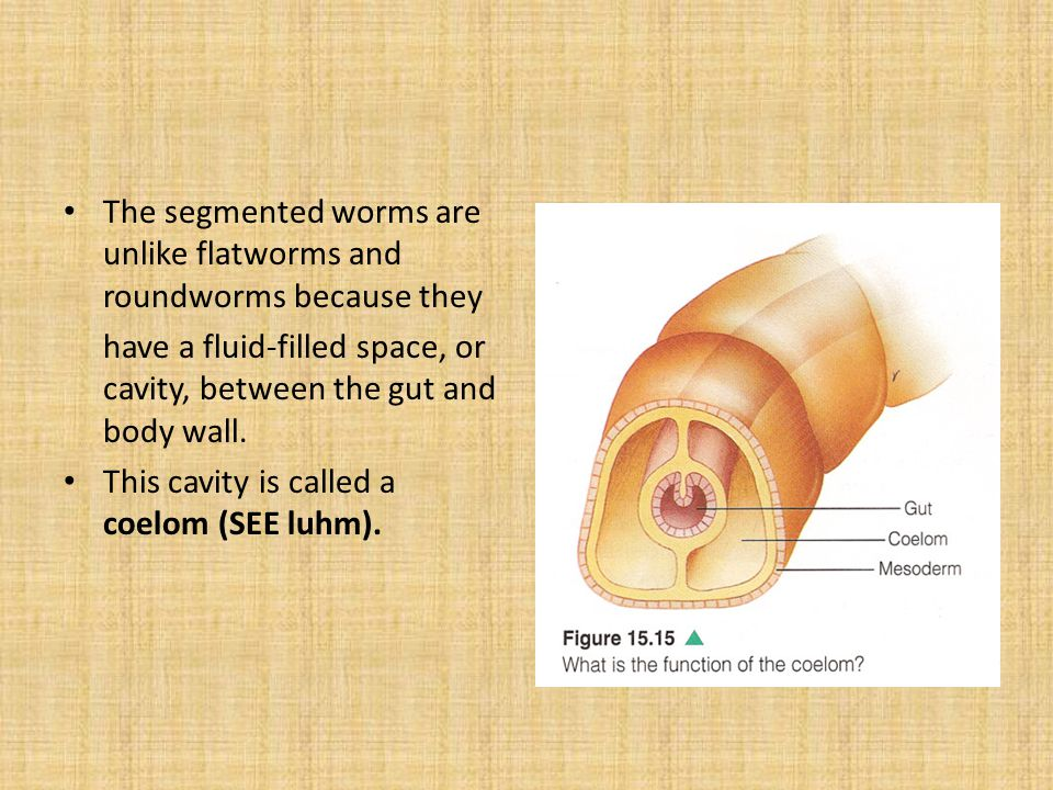 The segmented worms are unlike flatworms and roundworms because they have a fluid-filled space, or cavity, between the gut and body wall. This cavity