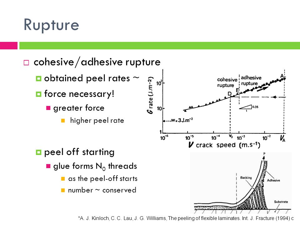 cohesive/adhesive rupture obtained peel rates ~ 1mm/s force necessary! greater force higher peel rate peel off starting glue forms N 0 threads as the