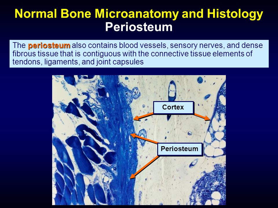 periosteum The periosteum also contains blood vessels, sensory nerves, and dense fibrous tissue that is contiguous with the connective tissue elements