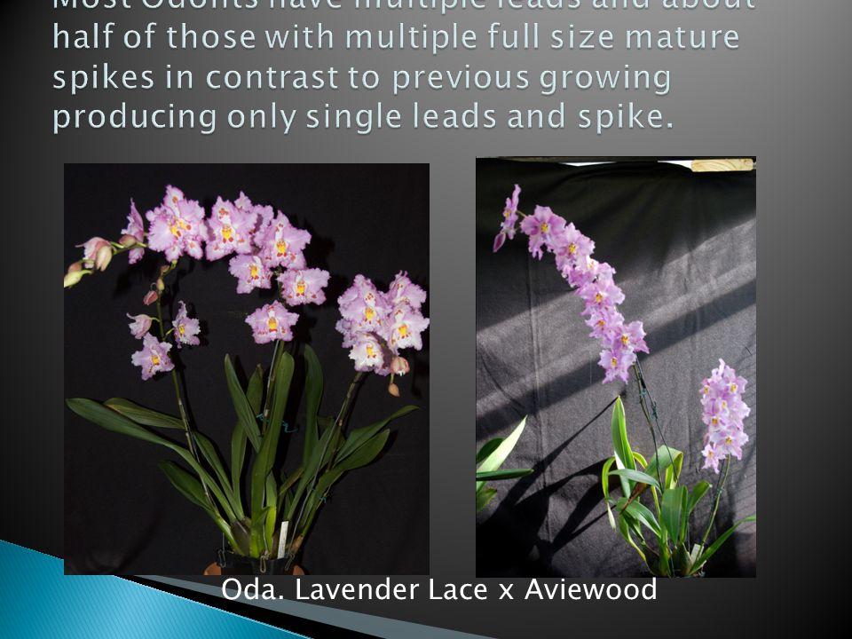 Oda. Lavender Lace x Aviewood