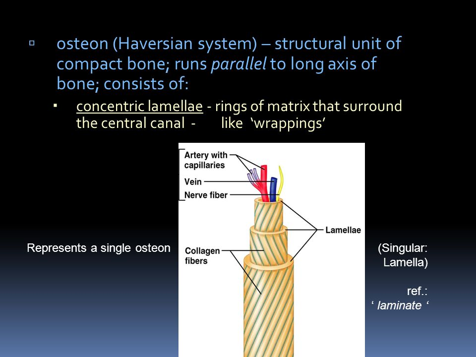 osteon (Haversian system) – structural unit of compact bone; runs parallel to long axis of bone; consists of: concentric lamellae - rings of matrix th