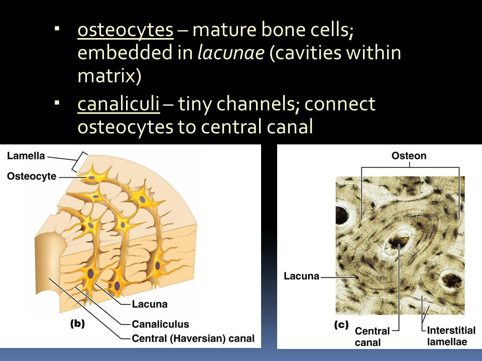 osteocytes – mature bone cells; embedded in lacunae (cavities within matrix) canaliculi – tiny channels; connect osteocytes to central canal