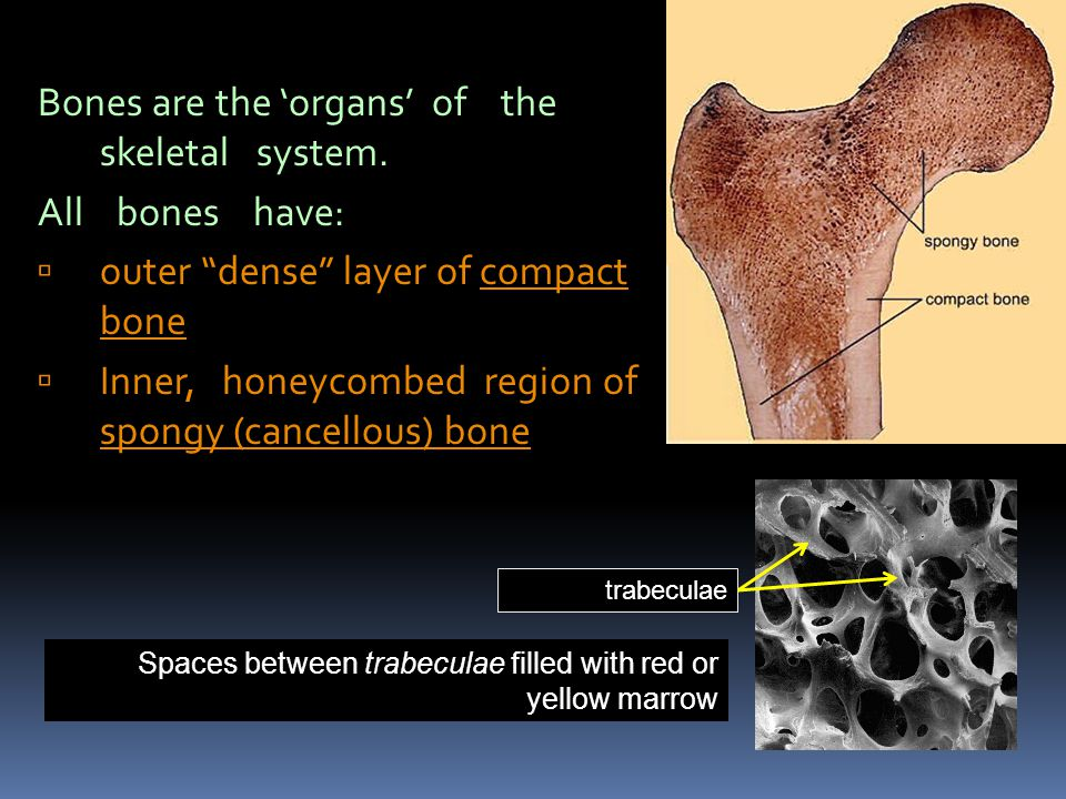 Bones are the organs of the skeletal system. All bones have: outer dense layer of compact bone Inner, honeycombed region of spongy (cancellous) bone S