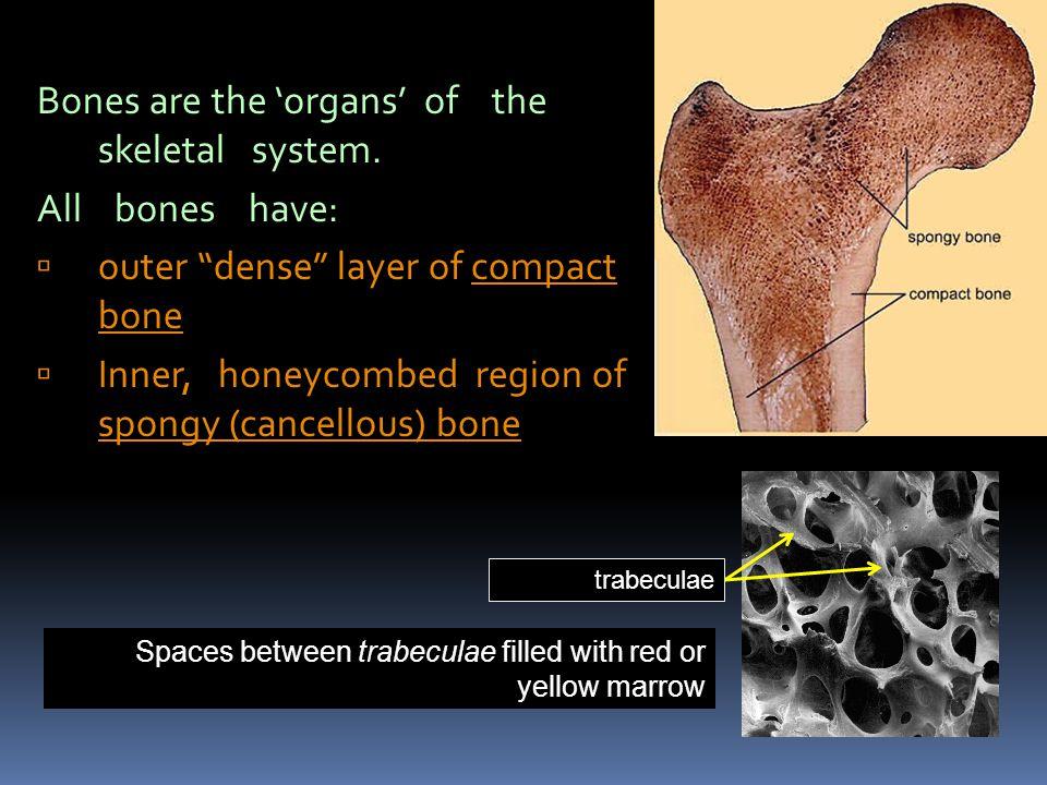 2. Microscopic Anatomy (compact bone) Osteon