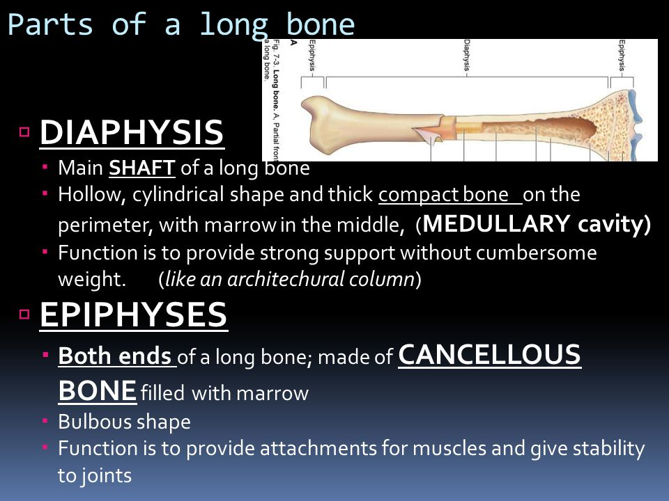Parts of a long bone DIAPHYSIS Main SHAFT of a long bone Hollow, cylindrical shape and thick compact bone on the perimeter, with marrow in the middle,