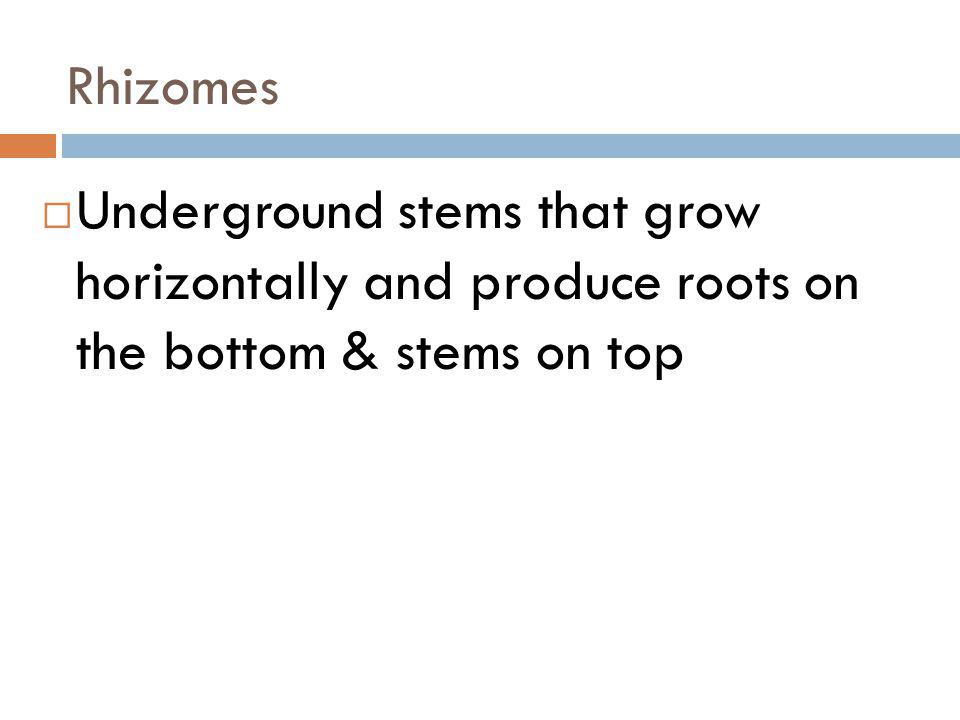 Rhizomes Underground stems that grow horizontally and produce roots on the bottom & stems on top