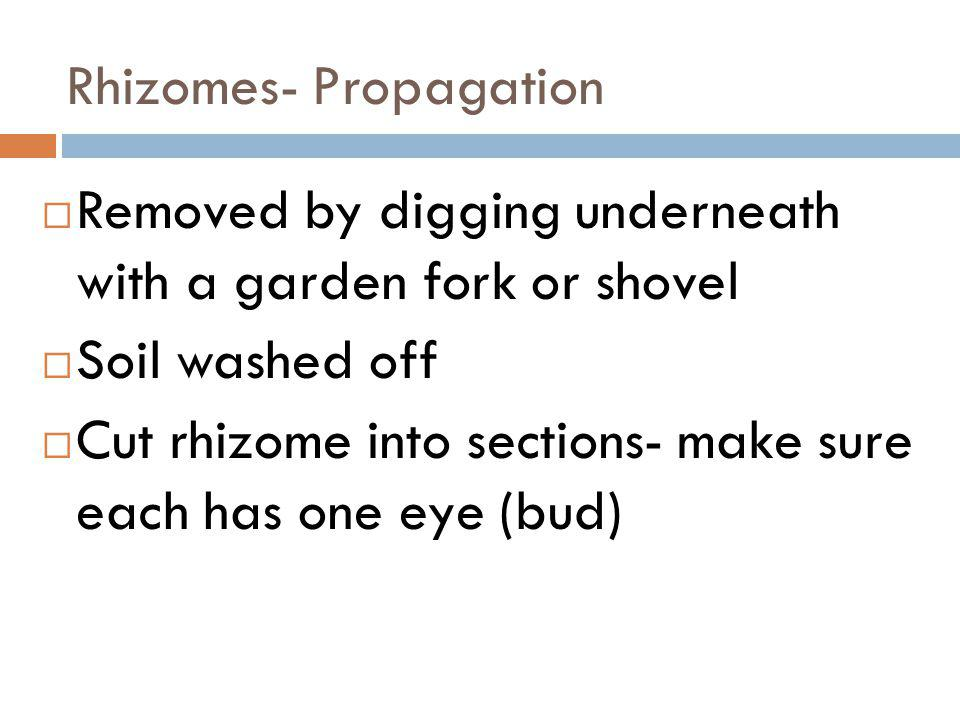 Rhizomes- Propagation Removed by digging underneath with a garden fork or shovel Soil washed off Cut rhizome into sections- make sure each has one eye