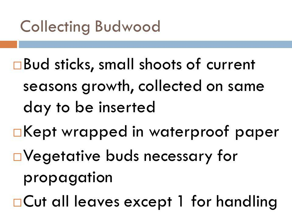 Collecting Budwood Bud sticks, small shoots of current seasons growth, collected on same day to be inserted Kept wrapped in waterproof paper Vegetativ