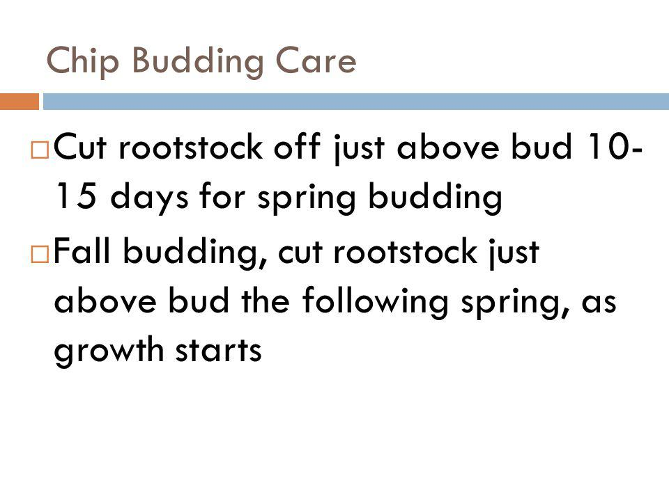 Chip Budding Care Cut rootstock off just above bud 10- 15 days for spring budding Fall budding, cut rootstock just above bud the following spring, as