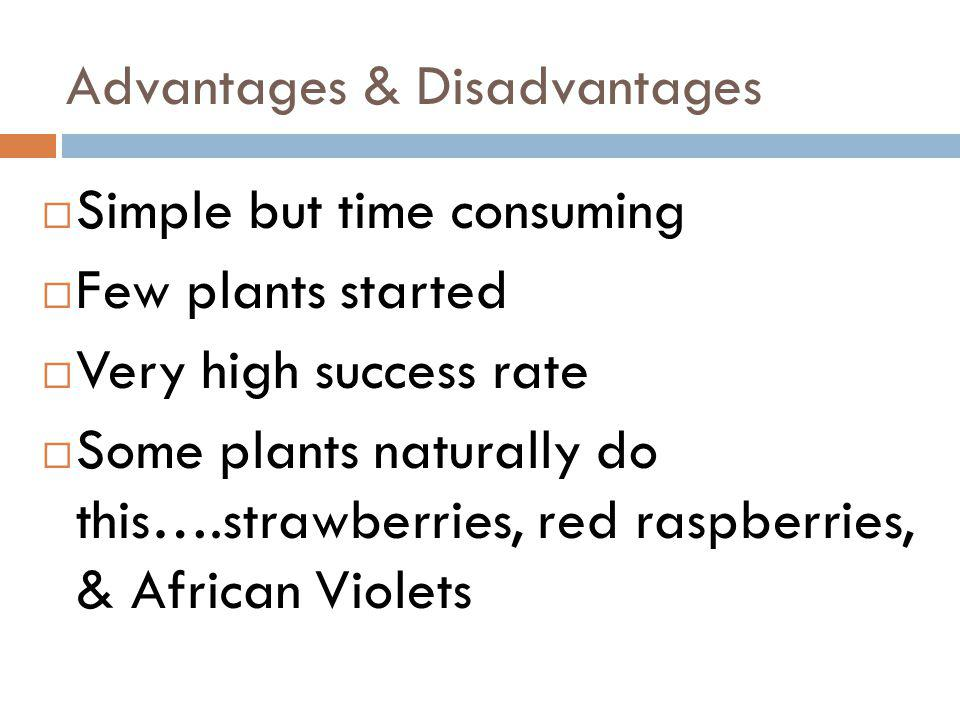 Advantages & Disadvantages Simple but time consuming Few plants started Very high success rate Some plants naturally do this….strawberries, red raspbe