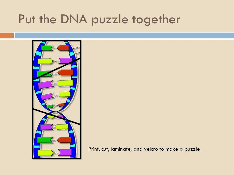 Put the DNA puzzle together Print, cut, laminate and velcro this whole template