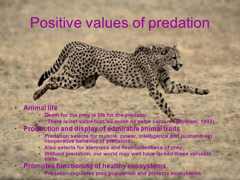 Positive values of predation Animal life Death for the prey is life for the predator There is not value lost, so much as value capture (Rolston, 1992) Production and display of admirable animal traits Predation selects for muscle, power, intelligence and (sometimes) cooperative behavior of predators Also selects for alertness and fleet-footedness of prey Without predation, our world may well have lacked these valuable traits Promotes functioning of healthy ecosystems Predation regulates prey population and protects ecosystems