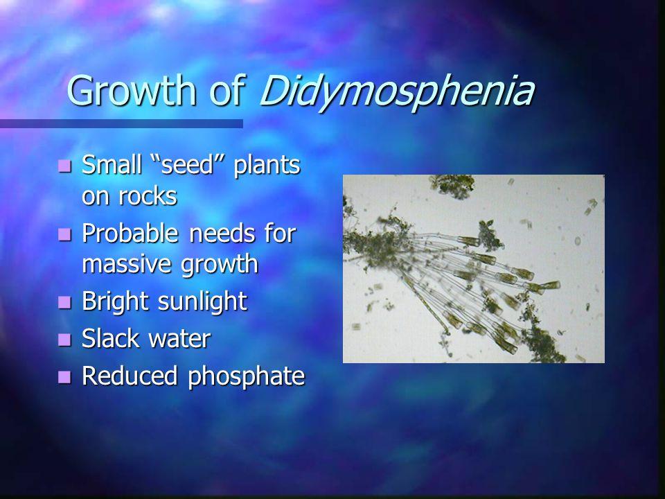 Didymosphenia geminata Colonial diatom Colonial diatom Cells divide Cells divide Attachment as gelatinous stalks Attachment as gelatinous stalks Massive plant Massive plant Cells (200-300 microns long) Cells (200-300 microns long)