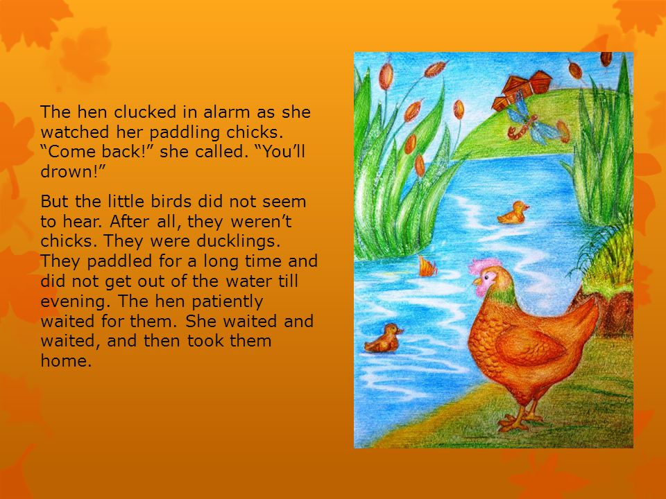 The hen clucked in alarm as she watched her paddling chicks.