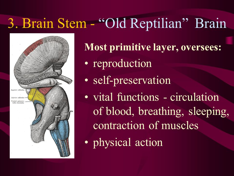 2. Limbic System - Old Brain Located around the top of the brain stem Generates vivid emotions: fear aggression caring emotional pain pleasure
