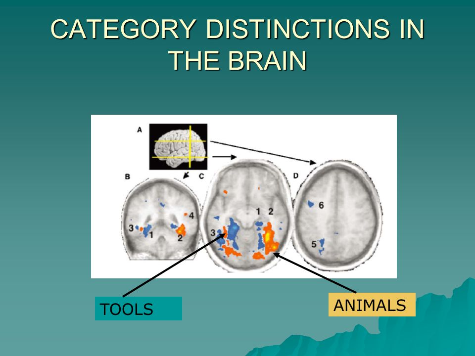 CATEGORY DISTINCTIONS IN THE BRAIN ANIMALS TOOLS