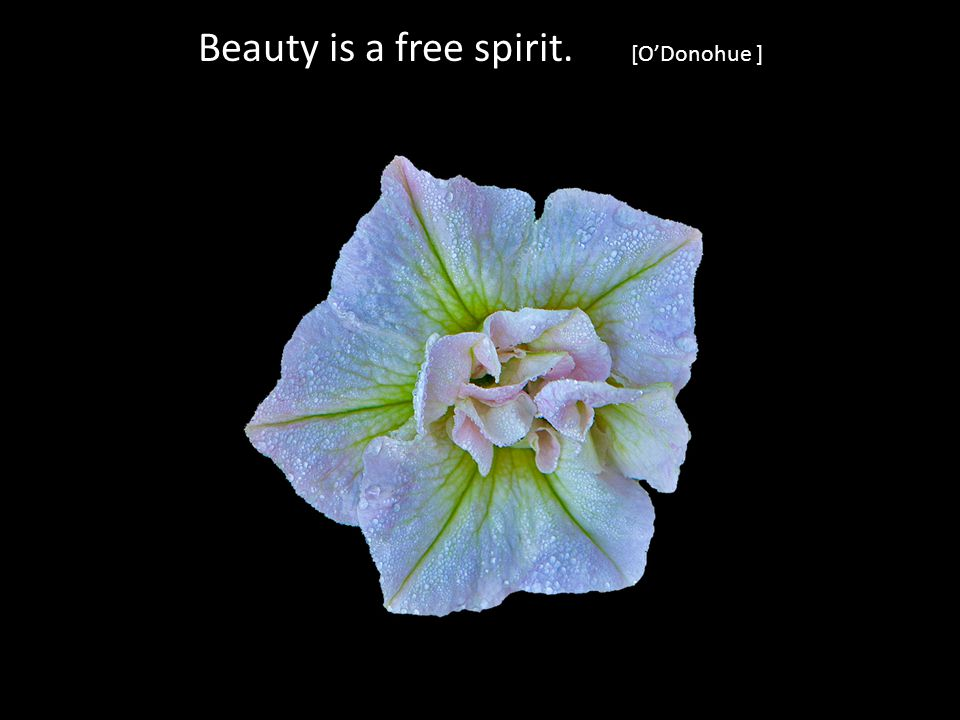 Beauty is a free spirit. [ODonohue ]