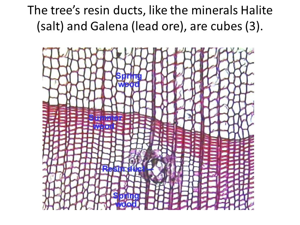 The trees resin ducts, like the minerals Halite (salt) and Galena (lead ore), are cubes (3).