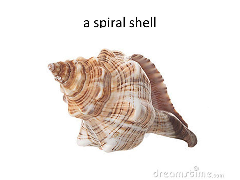 a spiral shell