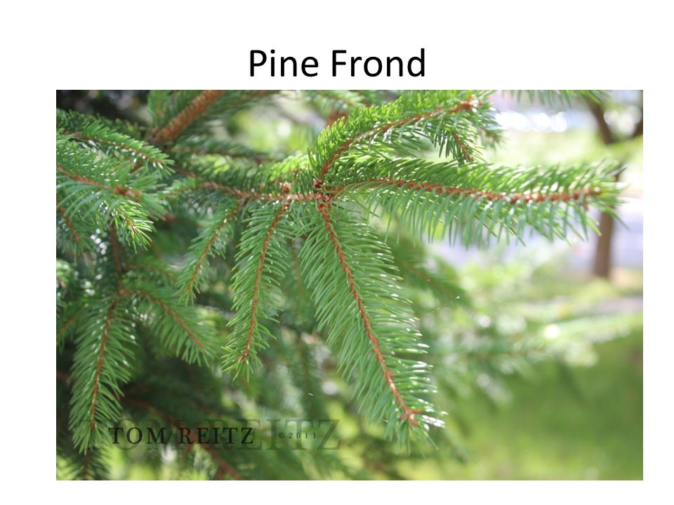 Pine Frond