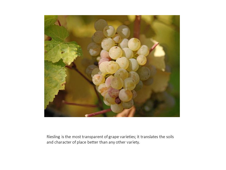 Riesling is the most transparent of grape varieties; it translates the soils and character of place better than any other variety.