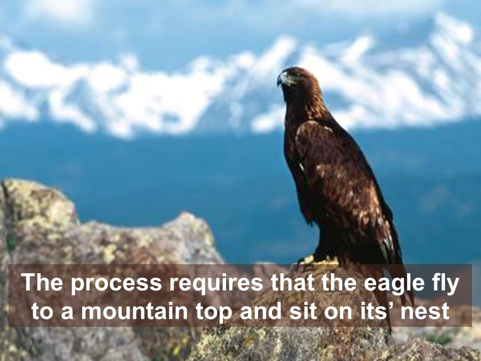 The process requires that the eagle fly to a mountain top and sit on its nest