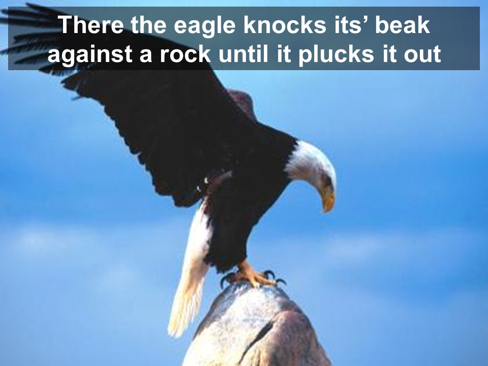 There the eagle knocks its beak against a rock until it plucks it out