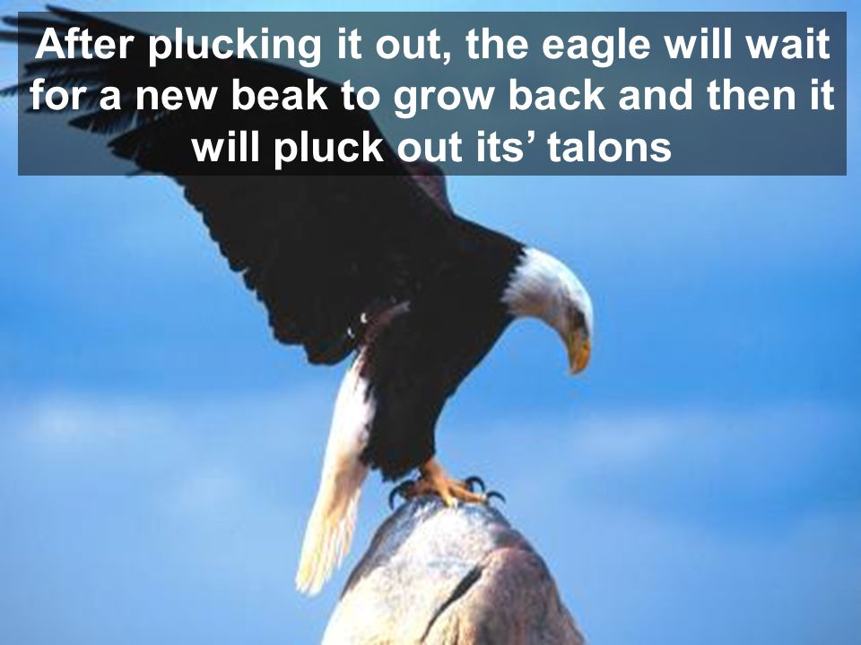 After plucking it out, the eagle will wait for a new beak to grow back and then it will pluck out its talons