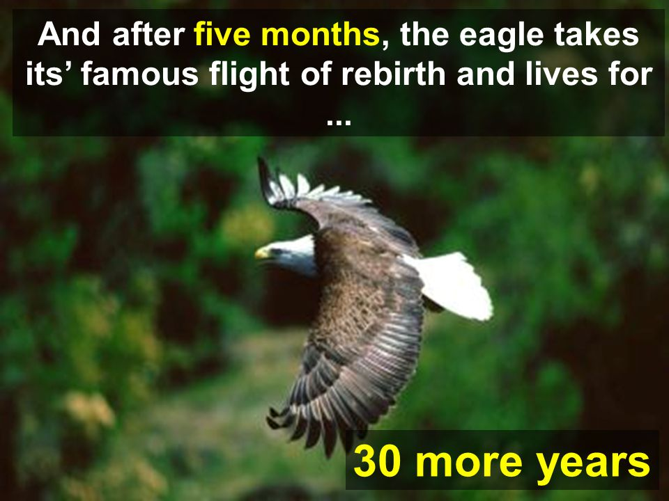 30 more years And after five months, the eagle takes its famous flight of rebirth and lives for... 30 more years.