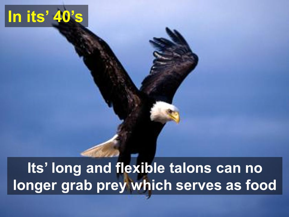 Its long and flexible talons can no longer grab prey which serves as food In its 40s