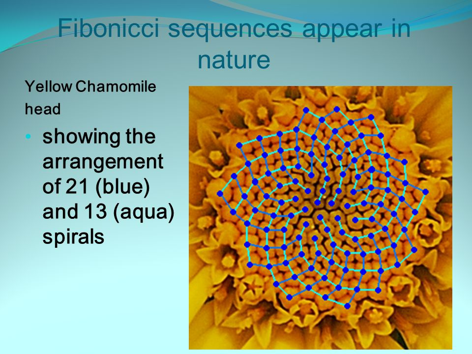 Fibonicci sequences appear in nature Yellow Chamomile head showing the arrangement of 21 (blue) and 13 (aqua) spirals