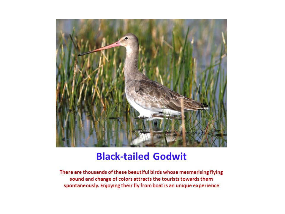 Black-tailed Godwit There are thousands of these beautiful birds whose mesmerising flying sound and change of colors attracts the tourists towards them spontaneously.