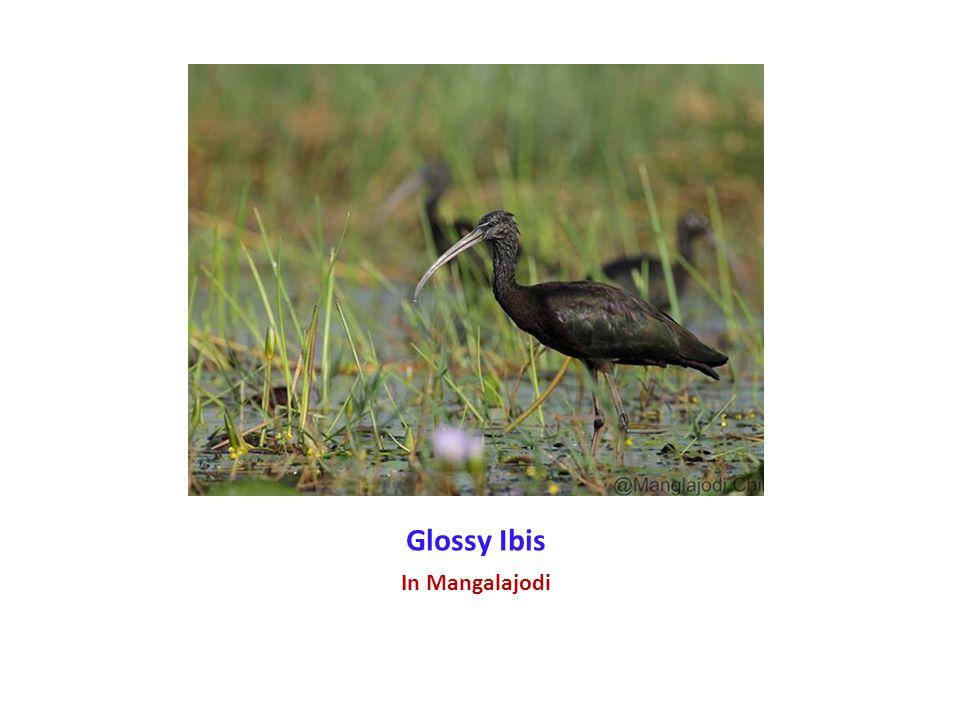 Glossy Ibis In Mangalajodi