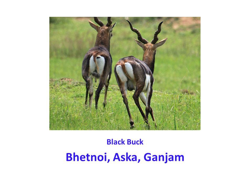 Black Buck Bhetnoi, Aska, Ganjam