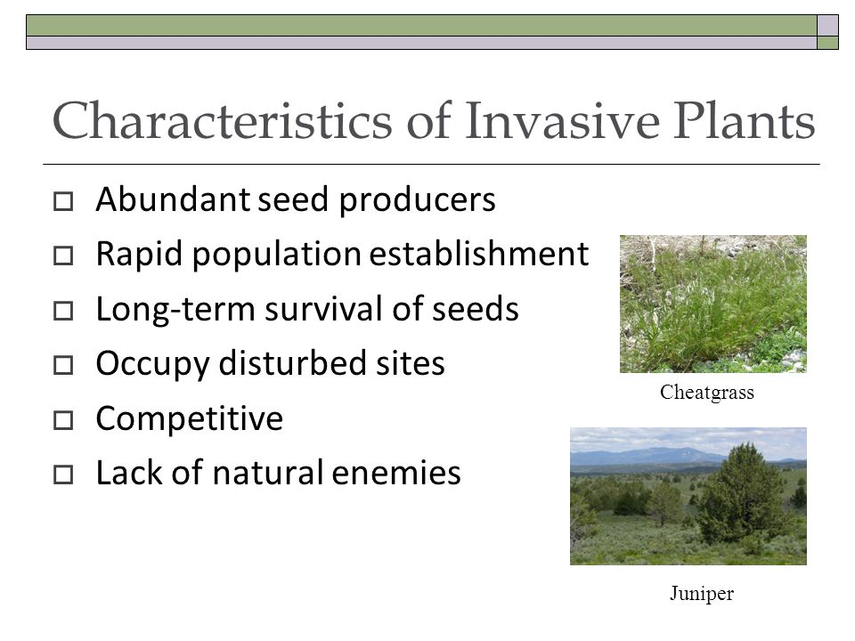 Characteristics of Invasive Plants Abundant seed producers Rapid population establishment Long-term survival of seeds Occupy disturbed sites Competitive Lack of natural enemies Cheatgrass Juniper