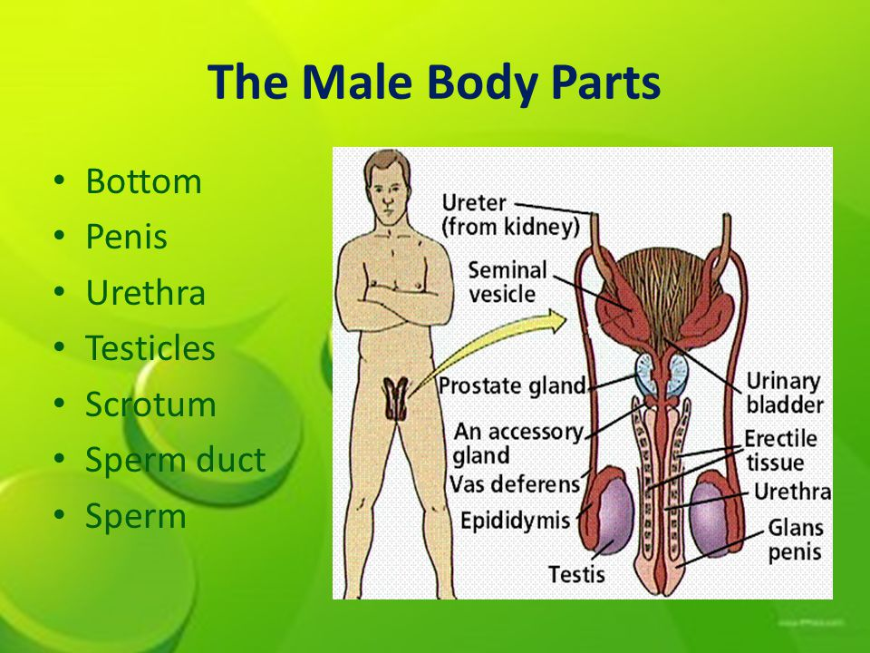 The Male Body Parts Bottom Penis Urethra Testicles Scrotum Sperm duct Sperm