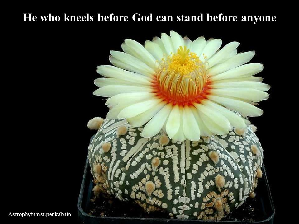 Astrophytum super kabuto He who kneels before God can stand before anyone
